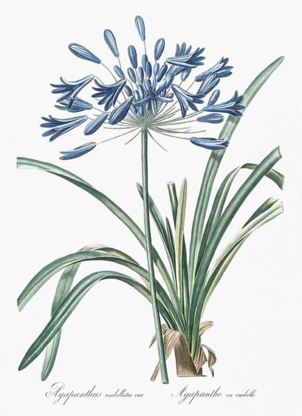 Wall Art - Painting - African Lily Illustration From Les Liliace Es  1805  By Pierre Joseph Redoute  1759-1840  by Celestial Images