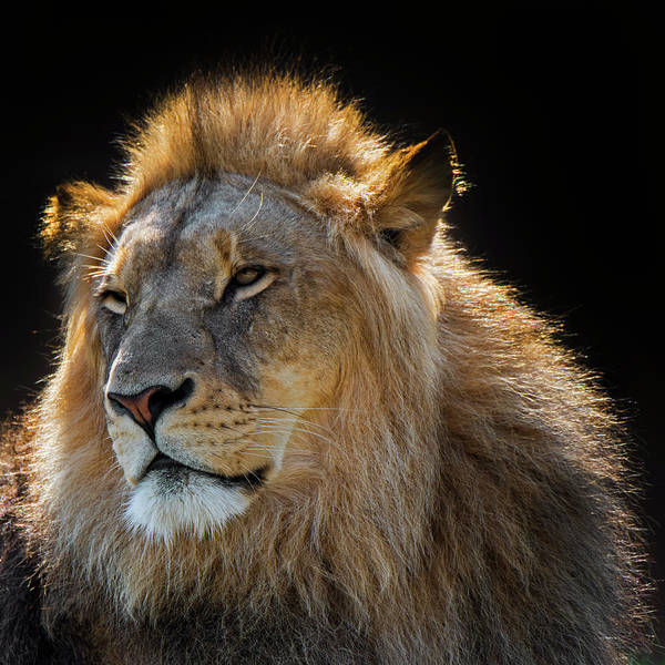 Photograph - African Lion by Arterra Picture Library