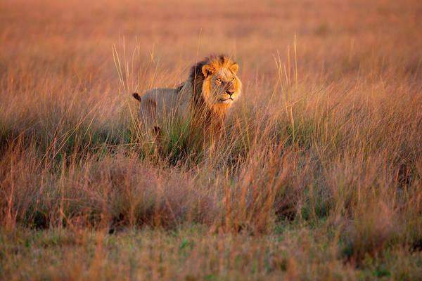 Photograph - African Lion, Duba Plains, Botswana by Mint Images/ Art Wolfe