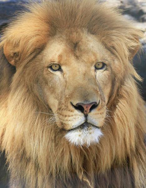 Wall Art - Photograph - African Lion Male by Steve McKinzie