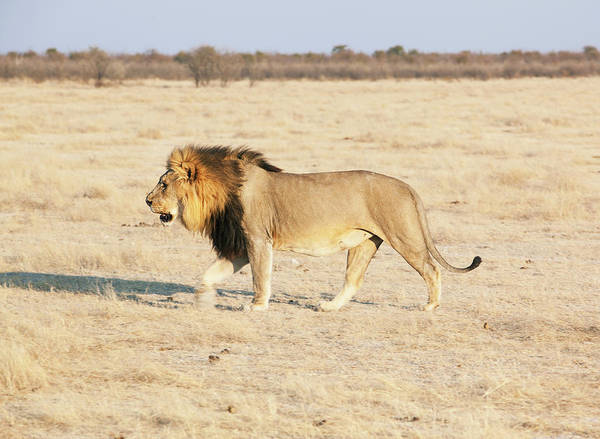 Savannah Photograph - African Lion On Savannah by Bjarte Rettedal