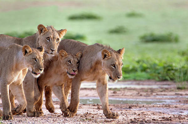 Theme Park Photograph - African Lions Panthera Leo Female And by Gaston Piccinetti