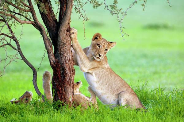 African Lions Panthera Leo, In Rainy Art Print