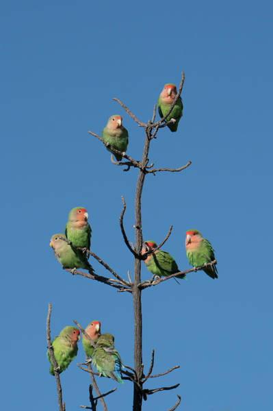 Wall Art - Photograph - African Lovebirds Socialize While by Brenda Tharp