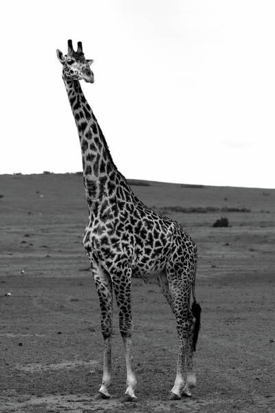 Photograph - African Male Giraffe by Aidan Moran