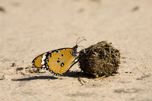 Wall Art - Photograph - African Monarch Butterfly On Dung by David Hosking