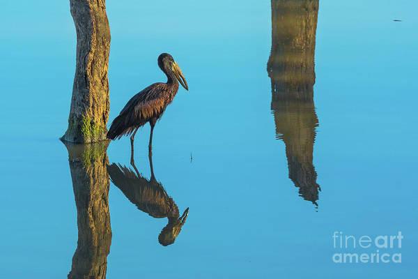 Photograph - African Openbill Stork Bird by Benny Marty