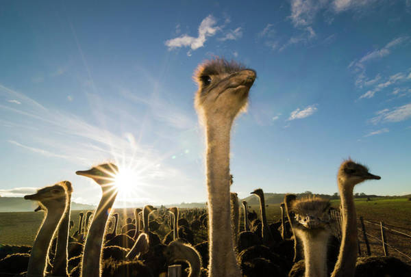 Ostrich Photograph - African Ostriches -struthio Camelus- by Dirk Bleyer