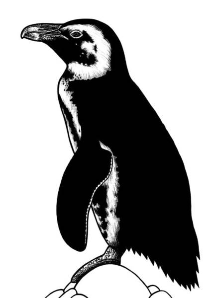 African Animal Drawing - African Penguin - Ink Illustration by Loren Dowding