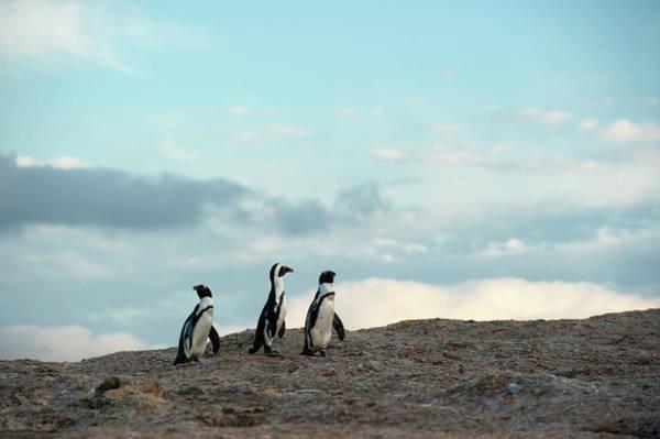Wall Art - Photograph - African Penguins At Boulders Beach by Ariadne Van Zandbergen