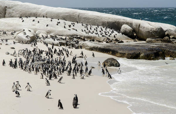 Photograph - African Penguins At Boulders Beach. by Rob Huntley