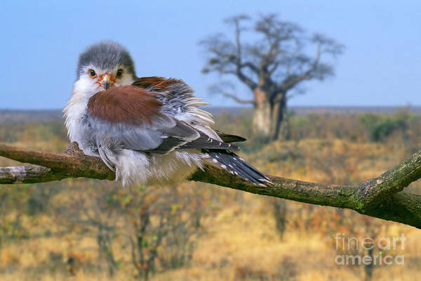 Photograph - African Pygmy Falcon by Arterra Picture Library