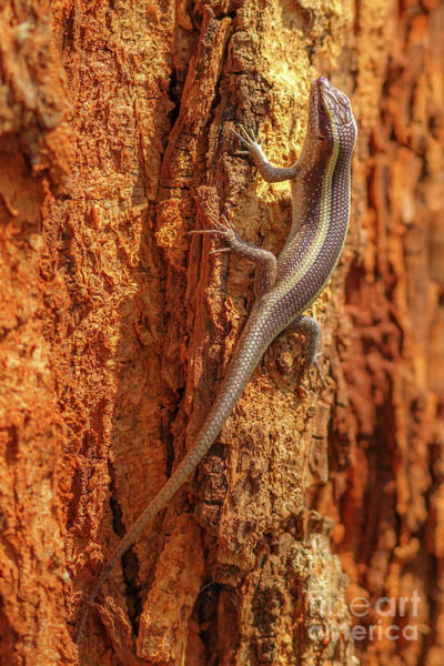 Photograph - African Striped Skink Lizard by Benny Marty