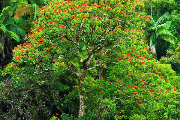 Wall Art - Photograph - African Tulip Tree And Lush Vegetation by Russ Bishop