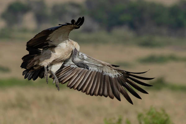 Photograph - African White-backed Vulture by Thomas Kallmeyer