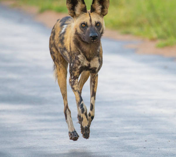 Photograph - African Wild Dog Bouncing by Mark Hunter