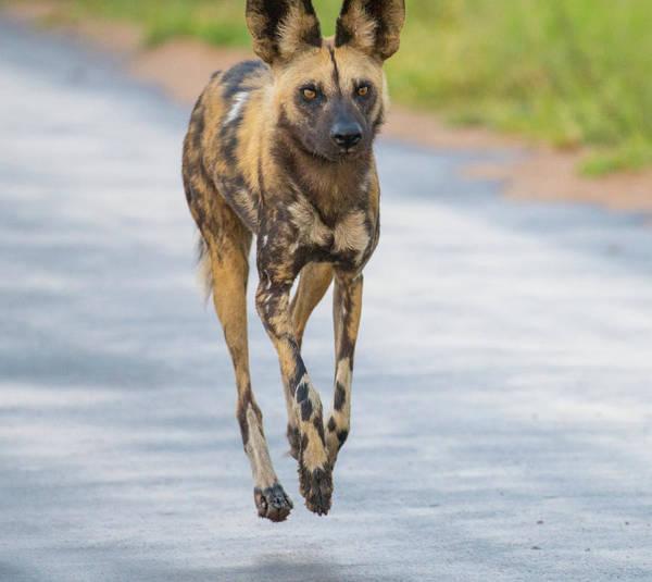 African Wild Dog Bouncing Art Print