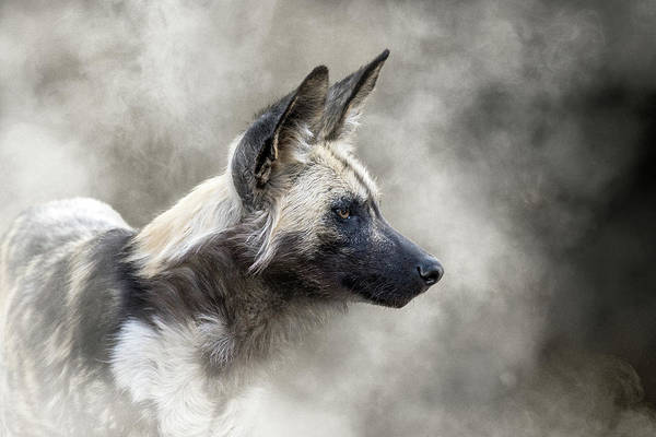 Wall Art - Photograph - African Wild Dog In The Dust by Susan Schmitz