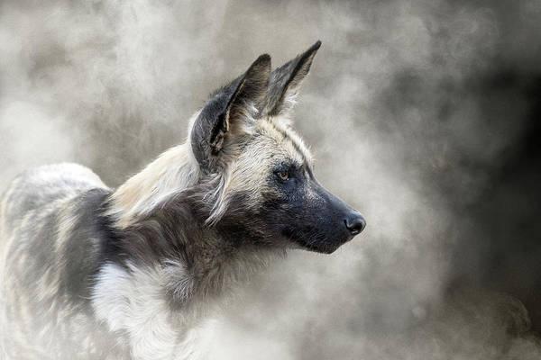 Photograph - African Wild Dog In The Dust by Susan Schmitz