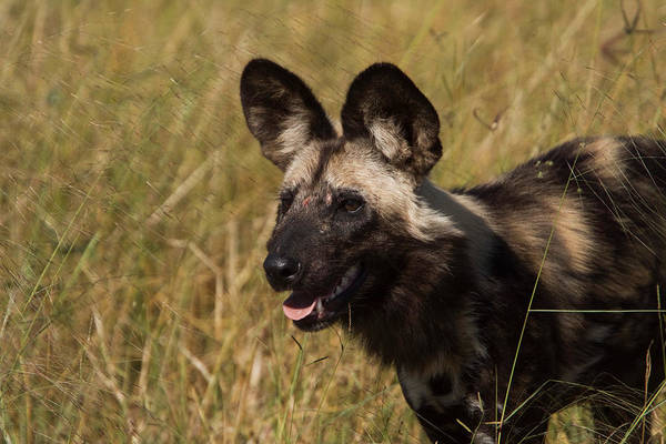 Wall Art - Photograph - African Wild Dogs by David Hosking