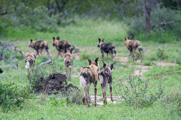 Photograph - African Wild Dogs Leaving by Mark Hunter
