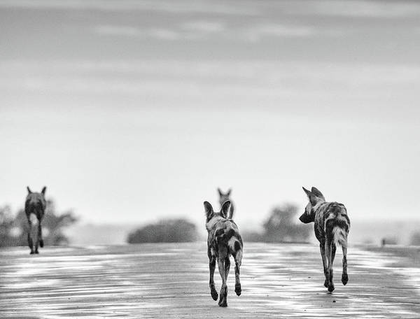 Photograph - African Wild Dogs Trotting Along A Road, Monochrome by Mark Hunter