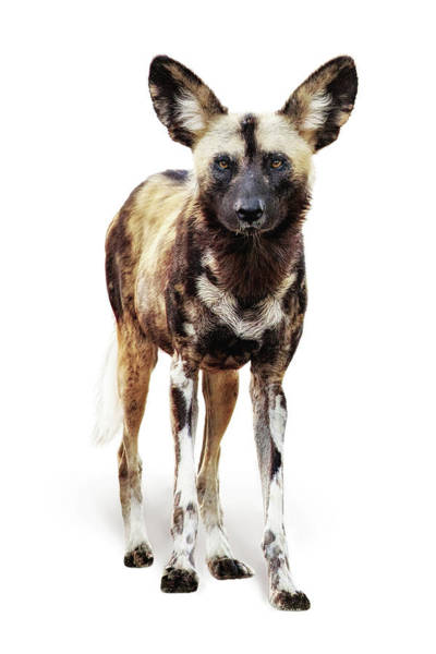 Wall Art - Photograph - African Wild Dog Named Ginger by Susan Schmitz