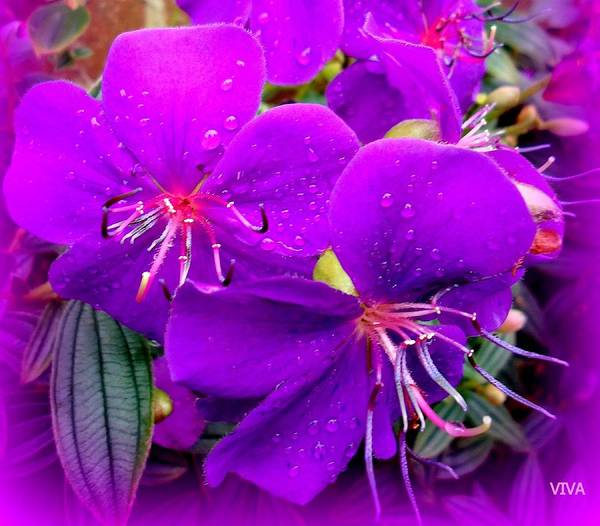 Photograph - After The Rain - Purple For Janet Marie by VIVA Anderson