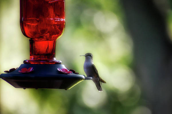 Wall Art - Photograph - Afternoon Summer Hummer by Thomas Woolworth