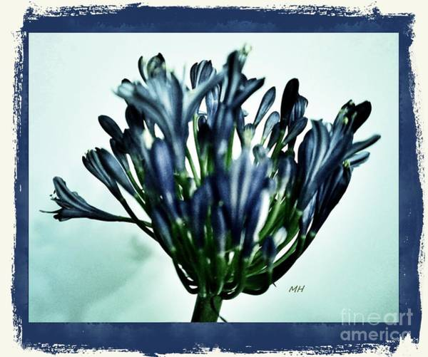 Wall Art - Photograph - Agapanthus Blue by Marsha Heiken