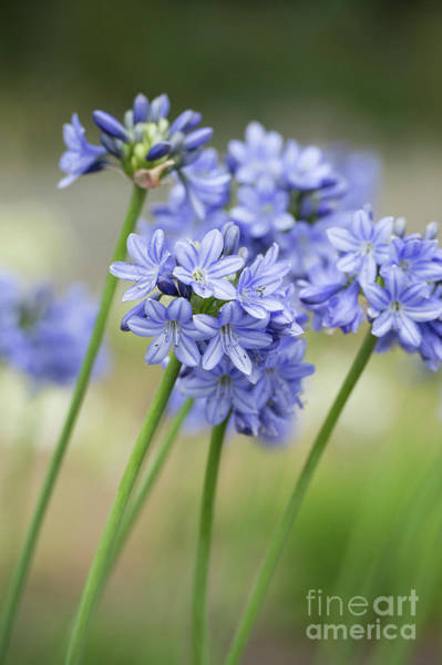 Wall Art - Photograph - Agapanthus Campanulatus Subsp Patens Portrait Shallow Dof by Tim Gainey
