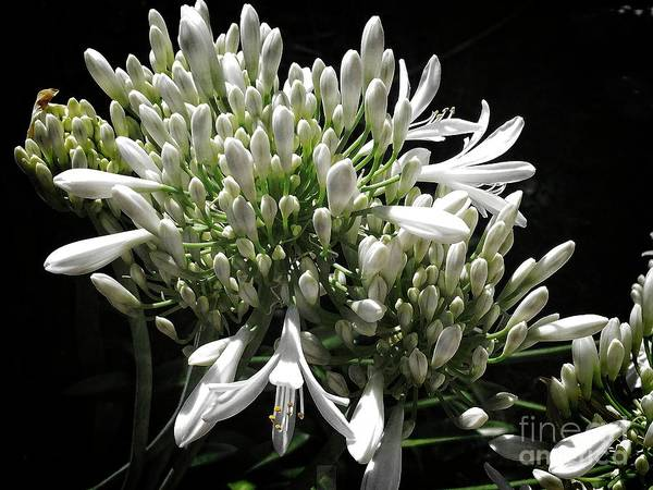 Digital Art - Agapanthus by Dee Flouton