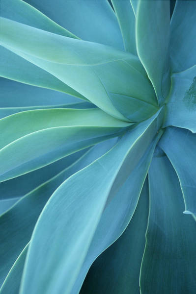 Photograph - Agave Agave Havardiana Close-up by Adam Smith