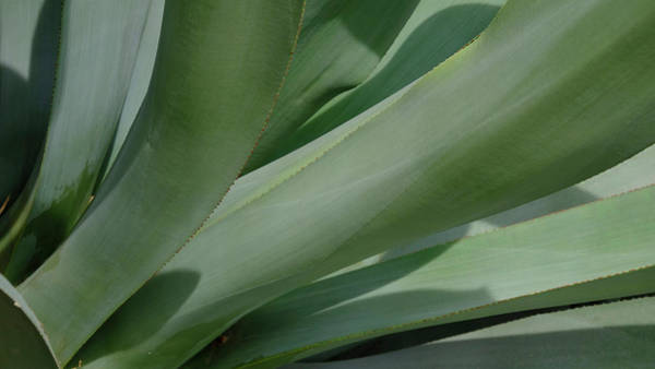 Photograph - Agave Flowing Design by August Timmermans