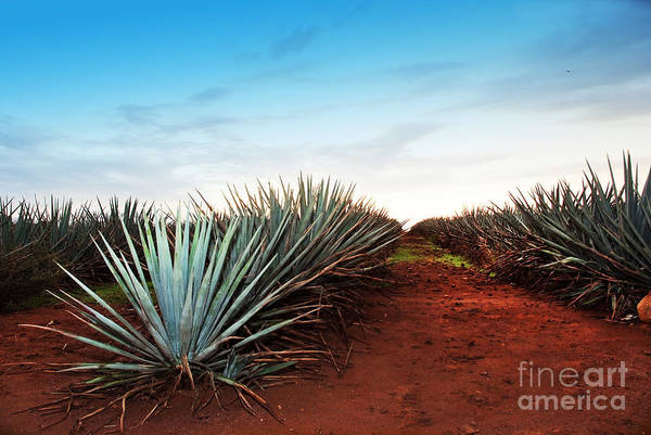 Cutting Wall Art - Photograph - Agave Tequila Landscape To Guadalajara by Jesus Cervantes