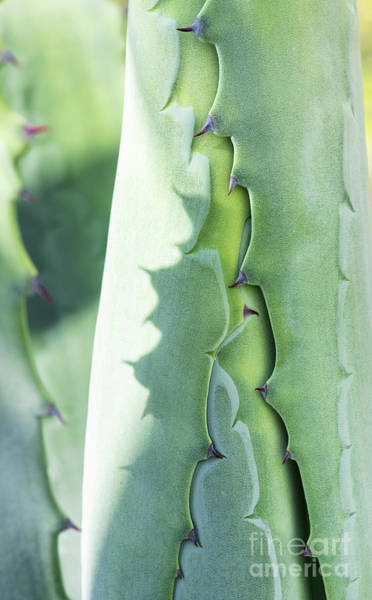 Spikes Photograph - Agave Foliage Opening by Tim Gainey