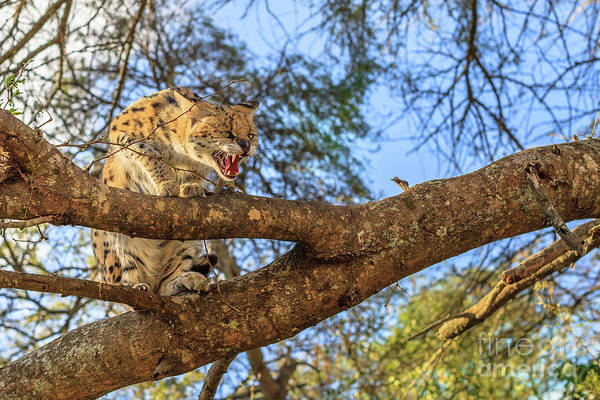 Photograph - Aggressive Serval South Africa by Benny Marty