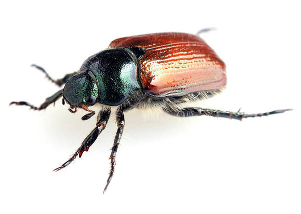 Photograph - Agonum Beetle Close-up by Paul Cowan
