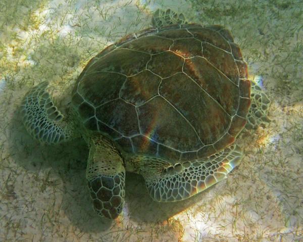 Photograph - Akumal Bay Sea Turtle Akumal Mexico by Toby McGuire