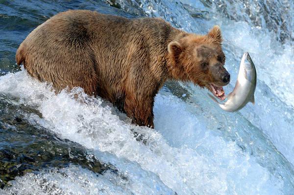 Sport Fish Photograph - Alaska Brown Bear Catching Salmon by Mit4711