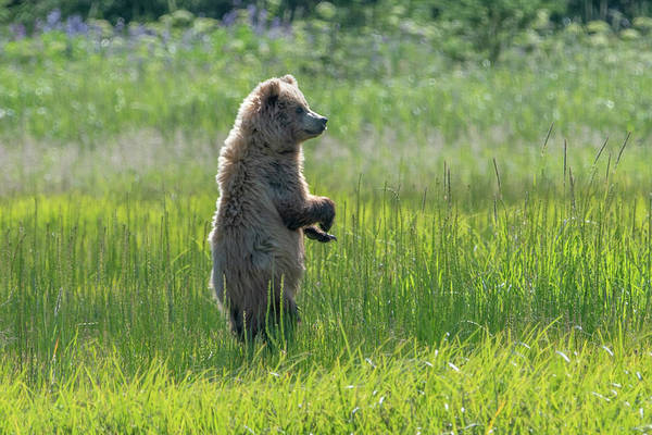 Photograph - Alaska Brown Bear Cub Standing In A Meadow by Mark Hunter