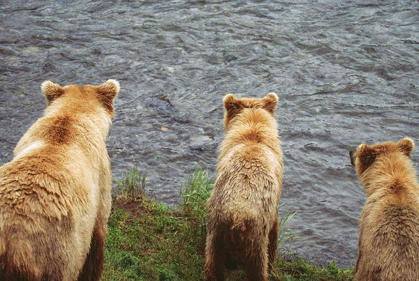 Wall Art - Photograph - Alaska Brown Bears By Lake, Alaska by Stuart Westmorland
