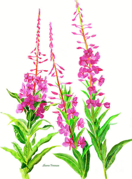 Freeman Wall Art - Painting - Alaska Fireweed by Sharon Freeman