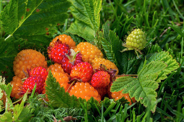Wall Art - Photograph - Alaska Wild Golden And Red Salmonberries by Cindy Miller Hopkins