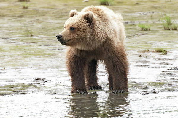 Photograph - Alaskan Brown Bear In The River by Mark Hunter