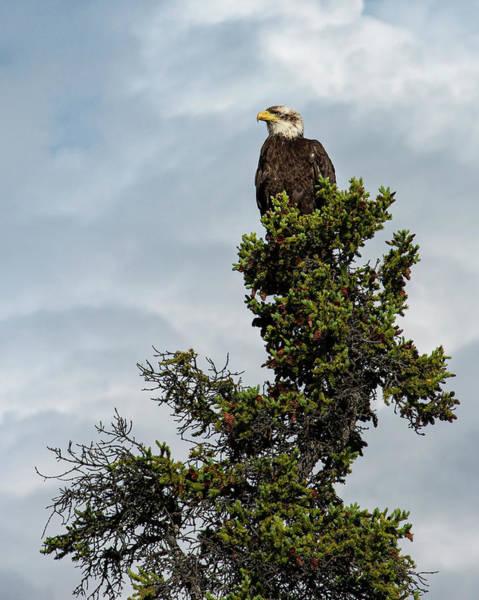 Photograph - Alaskan Eagle  by Roy Nelson