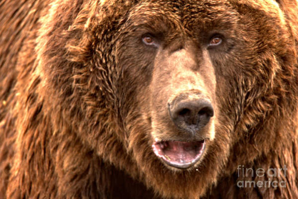 Photograph - Alaskan Grizzly Closeup by Adam Jewell