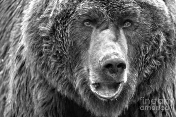 Photograph - Alaskan Grizzly Closeup Black And White by Adam Jewell