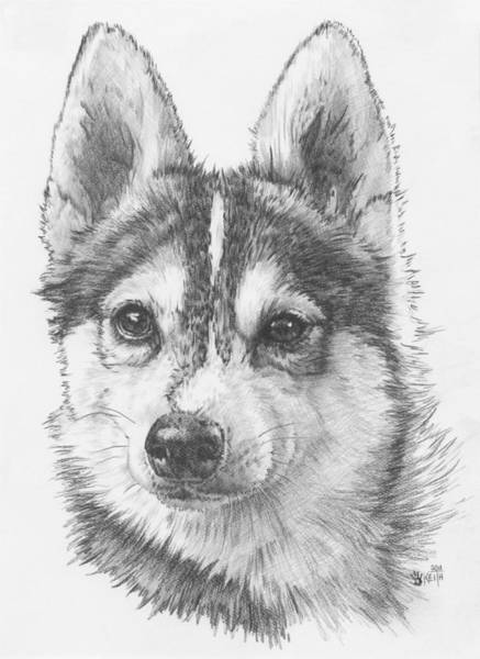 Mutt Drawing - Alaskan Klee Kai by Barbara Keith