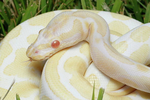 Wall Art - Photograph - Albino Ball Python In Grass by David Kenny